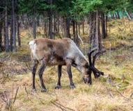 Северный олень пася в лесе около Полярного круга Стоковые Изображения
