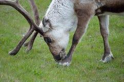 Северный олень пася и подавая на зеленой траве Стоковые Фотографии RF