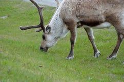 Северный олень пася и подавая на зеленой траве Стоковые Фото