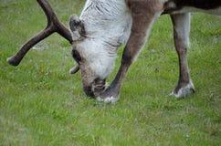 Северный олень пася и подавая на зеленой траве Стоковые Изображения
