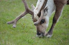 Северный олень пася и подавая на зеленой траве Стоковое фото RF