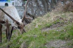Северный олень пася и подавая на зеленой траве Стоковое Изображение RF