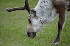 Северный олень пася и подавая на зеленой траве Стоковые Изображения RF