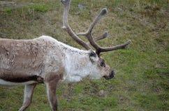 Северный олень пася и подавая Стоковое Изображение RF