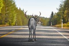 Северный олень пересекая дорогу в Финляндии финский ландшафт Путешествия Стоковая Фотография
