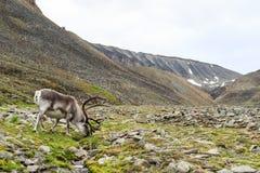 Северный олень Свальбарда мужской с большими antlers пася в Longyeardalen в лете, Свальбарде Стоковые Фотографии RF