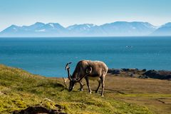 Северный олень Свальбарда Стоковые Изображения