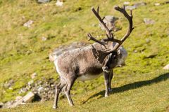 Северный олень Свальбарда Стоковая Фотография RF