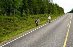 северный олень Финляндии Стоковые Изображения