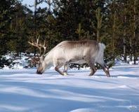 северный олень 10 Стоковая Фотография