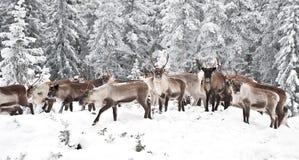 северный олень Стоковое Изображение