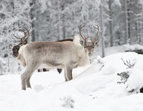 северный олень Стоковое Изображение RF