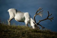северный олень Стоковое фото RF