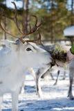 северный олень Стоковые Изображения