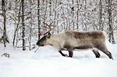 северный олень Стоковое Фото