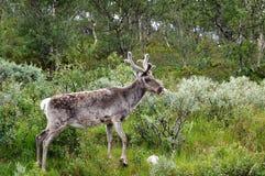 северный олень Стоковые Изображения RF