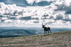 Северный олень na górze горы в финской Лапландии Стоковая Фотография