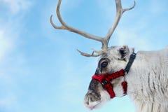 северный олень s santa Стоковое Изображение