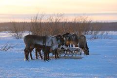 Северный олень sledding на морозном вечере в тундре северной Стоковые Фотографии RF