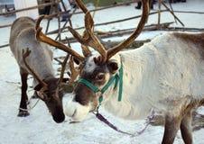 Северный олень в зиме Стоковая Фотография RF