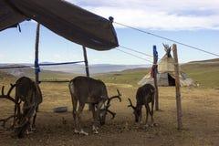 Северный олень в Монголии стоковая фотография