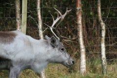 Северный олень в национальном парке Cairngorms Стоковое Фото