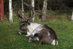 Северный олень в национальном парке Cairngorms Стоковая Фотография