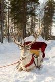 Северный олень в проводке Стоковые Фото