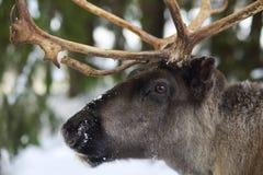 Северный олень в своей окружающей среде в Скандинавии Стоковые Изображения RF
