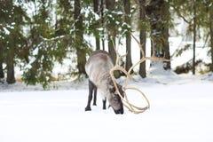 Северный олень в своей окружающей среде в Скандинавии Стоковое фото RF