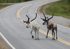 Северный олень идя в дорогу Стоковые Изображения RF