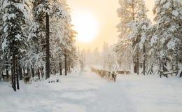 Северный олень идя на линию Стоковая Фотография