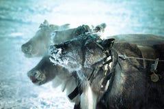 Северный олень намордника в заморозке Yamal поле глубины отмелое Стоковые Фотографии RF