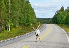 Северный олень на дороге Стоковая Фотография