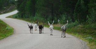 Северный олень на дороге Стоковое Изображение
