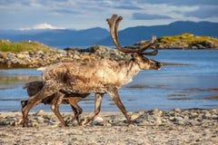 Северный олень на пляже Стоковая Фотография