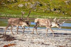 Северный олень на пляже Стоковые Изображения