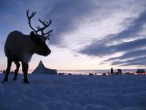 Северный олень против ландшафта тундры Стоковые Фото