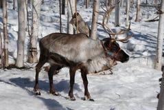 Северный олень рощи березы Стоковое Фото