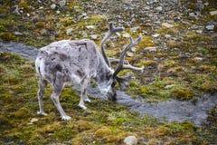 Северный олень Свальбарда Стоковое Изображение RF