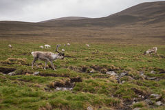 Северный олень Cairngorm Стоковые Изображения