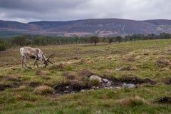 Северный олень Cairngorm Стоковые Фотографии RF