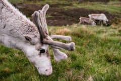 Северный олень Cairngorm Стоковое фото RF