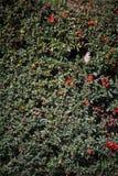 Северный пересмешник в кусте Стоковое Фото