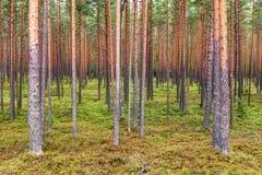Северный сосновый лес Стоковое Изображение