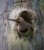 Северный фликер вставляя голову из гнезда стоковое изображение rf