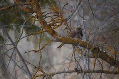 Северный фликер в дереве Snowy стоковые изображения rf