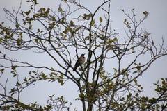 Северный фликер садить на насест в дереве стоковые изображения