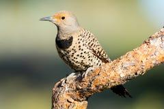Северный фликер, Woodpecker. Орегон, США стоковые фотографии rf