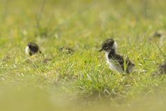 Северный цыпленок Lapwing Стоковое Фото